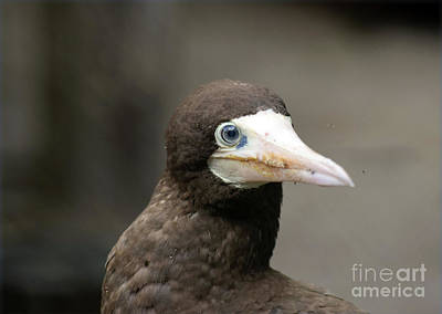 Brown Booby Print by William Tasker