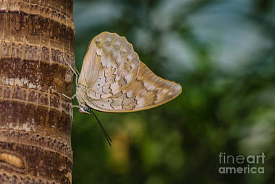 Photograph - Brown Butterfly by Lisa Plymell