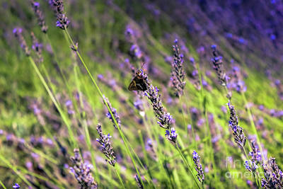 Photograph - Brown Butterfly On Lavender by Colleen Kammerer
