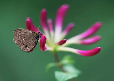 Photograph - Brown Butterfly Resting On The Pink Plant by Jaroslaw Blaminsky