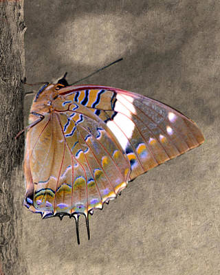 Photograph - Brown Butterfly With Blue Stripes by Kathy M Krause