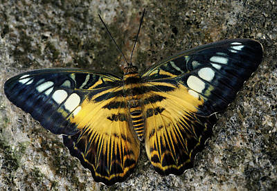 Insect Photograph - Brown Clipper Butterfly Sidelit On A Granite Rock by Reimar Gaertner