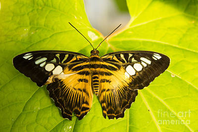 Brown Clipper Photograph - Brown Clipper by Steven Parker