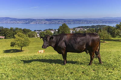 Photograph - Brown Cow And Zurich Lake, Switzerland by Elenarts - Elena Duvernay photo