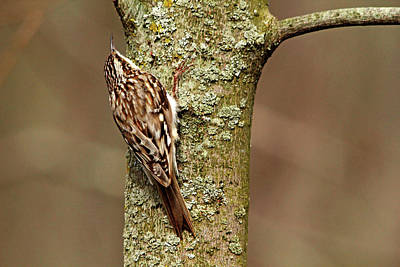 Photograph - Brown Creeper by Debbie Oppermann