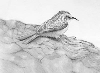Susan Conner Drawing - Brown Creeper by Susan Conner