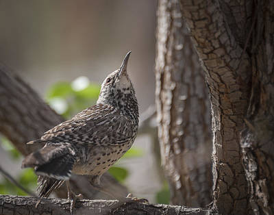 Photograph - Brown Creeper by Tyson Smith