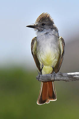 Photograph - Brown-crested Flycatcher by Alan Lenk