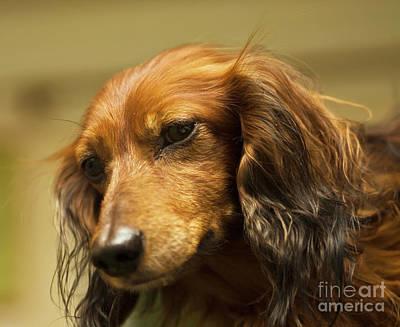 Photograph - Brown Dachshund, Portrait by Irina Afonskaya