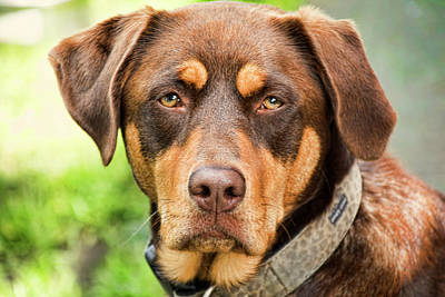 Photograph - Brown Dog by Peggy Collins