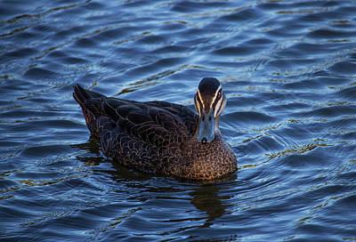 Animals Photograph - Brown Duck 2 by Naomi Burgess