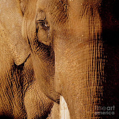 Photograph - Brown Elephant by Bob Brents