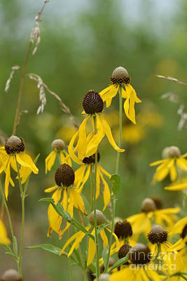 Photograph - Brown-eyed Susan by Maria Urso