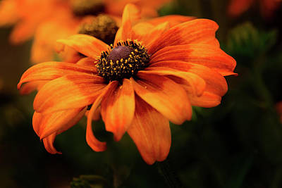 Print featuring the photograph Brown Eyed Susan by Mary Jo Allen