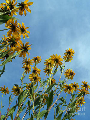 Richland County Photograph - Brown-eyed Susans From Below by Anna Lisa Yoder