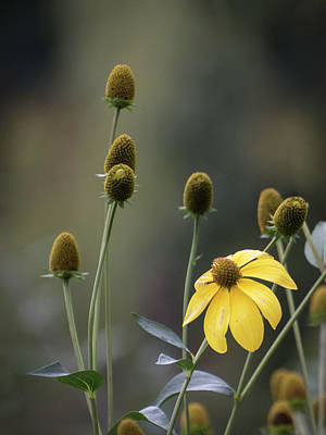 Photograph - Brown Eyed Susans by Keith Boone