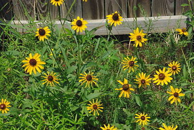 Art Print featuring the photograph Brown Eyed Susans by Robyn Stacey