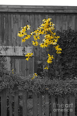 Photograph - Brown-eyed Susans Selective Color by John  Mitchell