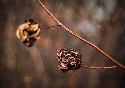 Photograph - Brown Flower Seed by Kathleen Scanlan