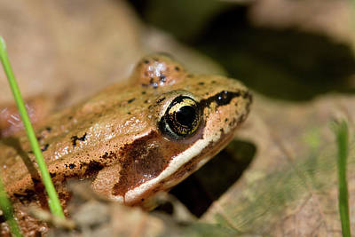 Brown Frog In The Forest - Western Oregon Art Print