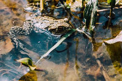 Brown Frog In Water Art Print