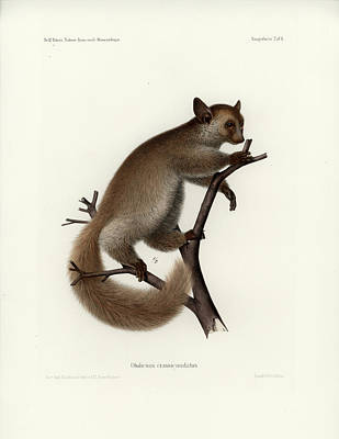 Drawing - Brown Greater Galago Or Thick-tailed Bushbaby by Hugo Troschel and J D L Franz Wagner