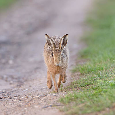 Photograph - Brown Hare Approaching Down Track by Peter Walkden