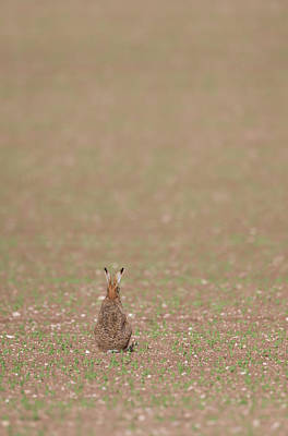 Photograph - Brown Hare, Brown Field by Peter Walkden