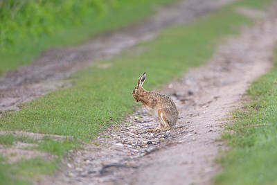 Brown Hare Cleaning Art Print