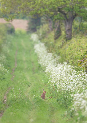 Photograph - Brown Hare On Wild Flower Track by Peter Walkden
