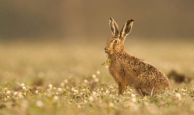 Brown Hare  Art Print by Paul Neville