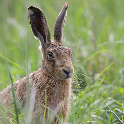 Photograph - Brown Hare Portrait by Peter Walkden