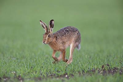 Photograph - Brown Hare Running by Peter Walkden