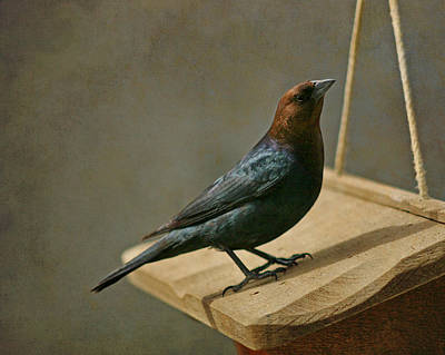 Photograph - Brown Headed Cowbird 1 by Susan  McMenamin