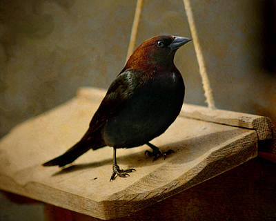 Photograph - Brown Headed Cowbird 2 by Susan  McMenamin
