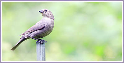 Photograph - Brown-headed Cowbird, Female by A Gurmankin