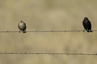 Brown-headed Cowbirds Perch On A Barbed Art Print