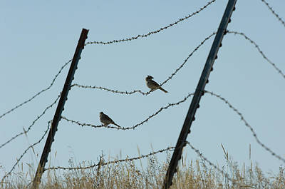 Brown-headed Cowbirds Sit On A Wire Art Print