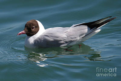 Photograph - Brown-headed Gull by Frank Townsley