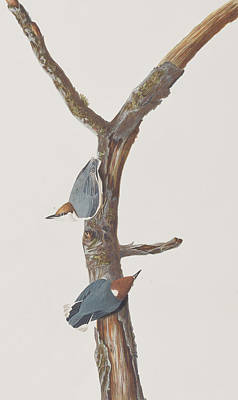 Nuthatch Painting - Brown-headed Nuthatch by John James Audubon