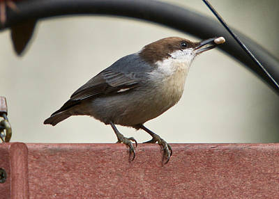 Photograph - Brown-headed Nuthatch by Robert L Jackson