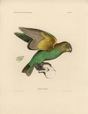 Drawing - Brown-headed Parrot, Piocephalus Cryptoxanthus by J D L Franz Wagner