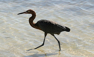 Photograph - Brown Heron by Mary Haber