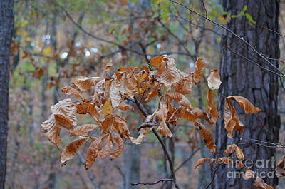 Photograph - Brown Hickories by Maria Urso