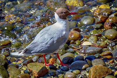 Photograph - Brown-hooded Gull In Castro Chiloe Chile by John Haldane
