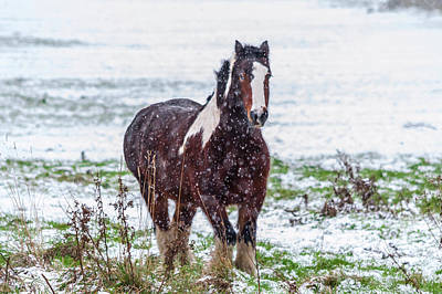 Photograph - Brown Horse Galloping Through The Snow by Scott Lyons