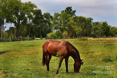 Photograph - Brown Horse In Holland by Amy Lucid