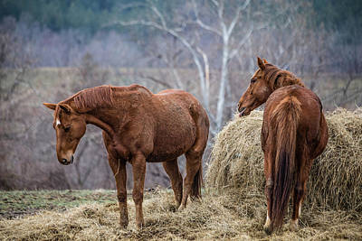 Photograph - Brown Horses And Hay by Karen Saunders