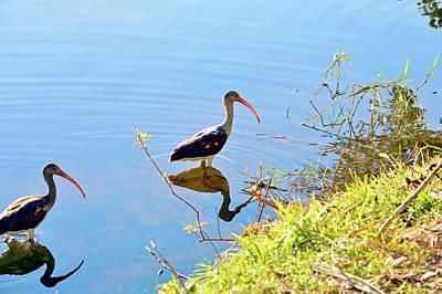 Birds Photograph - Brown Ibis 2 by Ken Figurski