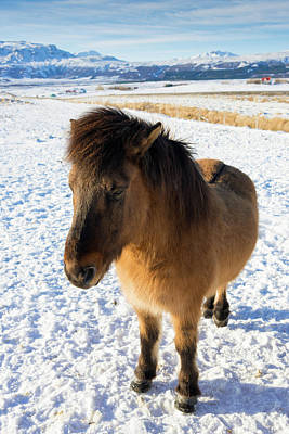 Print featuring the photograph Brown Icelandic Horse In Winter In Iceland by Matthias Hauser